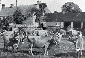 cattle at Goosegreen